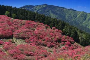 杜鹃花盛开的葛城山与金刚山